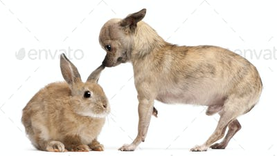 Chihuahua interacting with a rabbit in front of white background