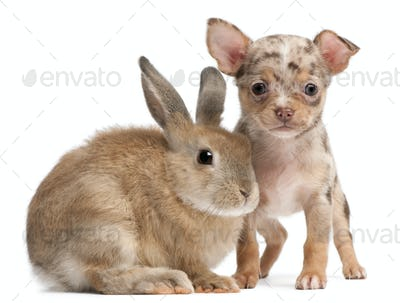 Chihuahua with a rabbit in front of white background