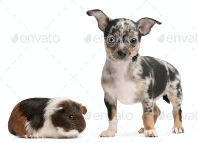 Chihuahua puppy with a guinea pig in front of white background