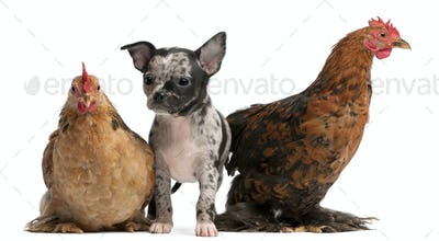 Chihuahua puppy interacting with a hens in front of white background