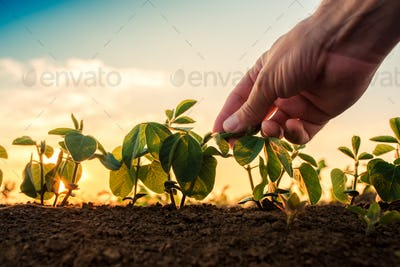 Soybean growth control, male hand touching soy plant