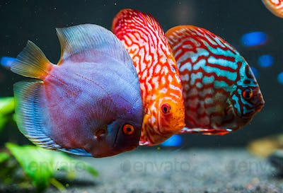 Colorful fish from the spieces Symphysodon discus in aquarium.