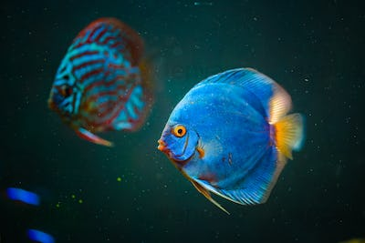 Blue fish from the spieces Symphysodon discus closeup.