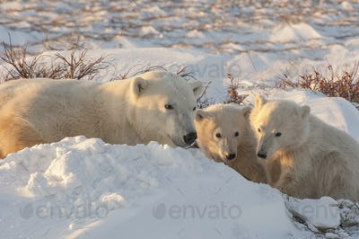 A polar bear group in the wild,an adult and two cubs on a snowfield in Manitoba.