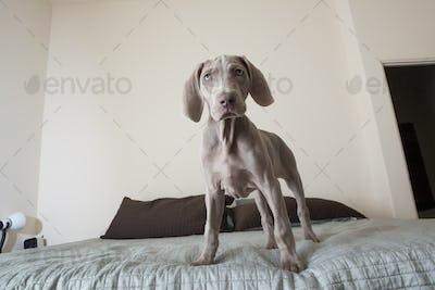 A Weimaraner puppy dog standing on a bed.