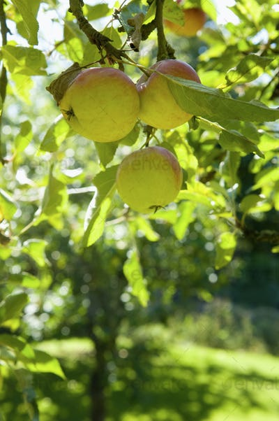An apple tree on a farm.