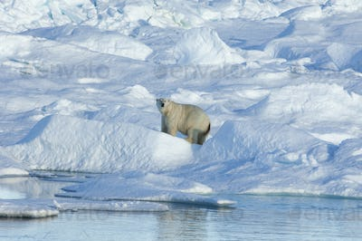 A large polar bear standing among blocks of ice in the canadaian Arctic.