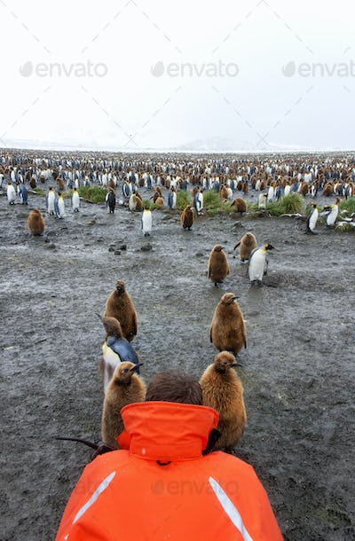 A person in an orange jacket photographing king penguin adults and chicks on South Georgia island.