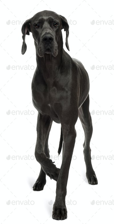 Great Dane, 15 months old, walking in front of white background