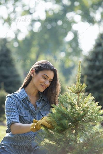 A woman pruning an organically grown christmas tree.