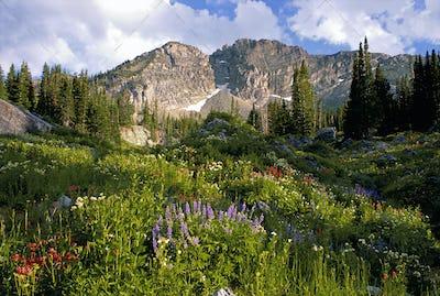 Devil's Castle mountain peak, in the Wasatch mountain range, Wild flowers in tall grass,
