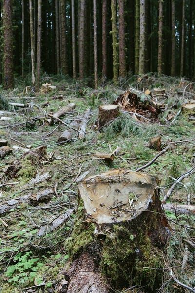 Recently logged Sitka Srpuce and Western Hemlock logs, Olympic NF