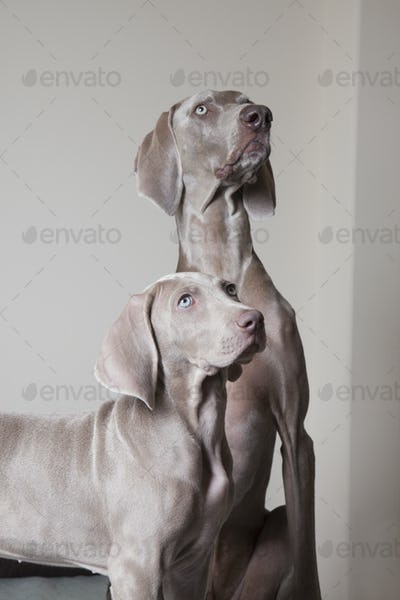 An adult weimaraner dog and a puppy. Two dogs side by side looking up.