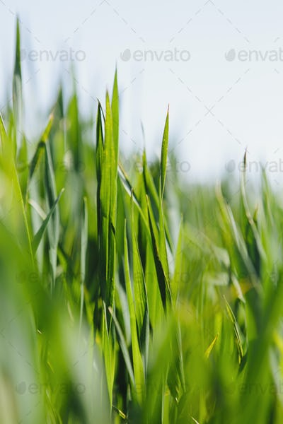 Close up  of a food crop, a field of wheat, wheat stalks and ears developing