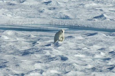 A polar bear walking across the uneven surface of an icefield, looking around with it's head up.