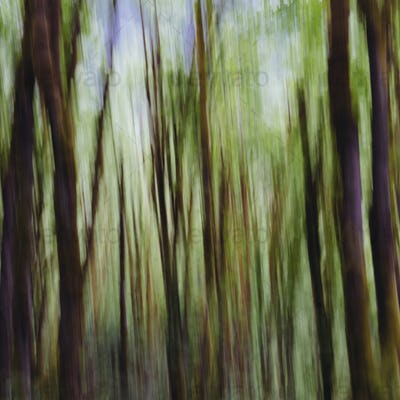 Lush forest of moss covered Big leaf maple trees (Acer macrophyllum), blurred motion