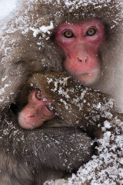 Japanese macaques, Honshu Island, Japan