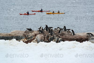 Three sea kayaks on the water, A flock of Gentoo penguins on the shore