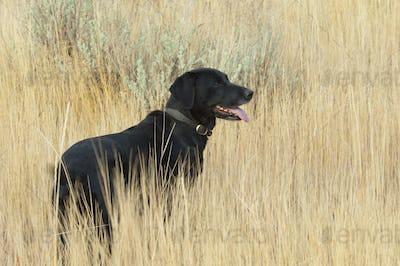 A black labrador retriever dog standing in  the long grass.