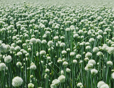 View of large crop of blooming Walla Walla Sweet Onions, near Quincy