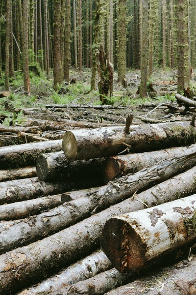 Recently cut logs of Sitka Spruce and Western Hemlock trees in lush temperate rainforest