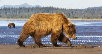 Brown bears, Lake Clark National Park, Alaska, USA