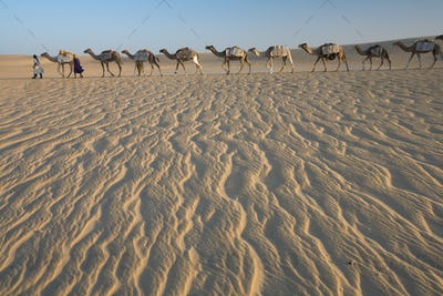 Camel train, a group of animals haltered and led by two people across windswept sands