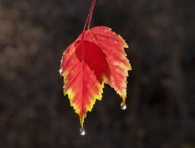 A leaf in autumn suspended in air, sunlit with a lighter edge.