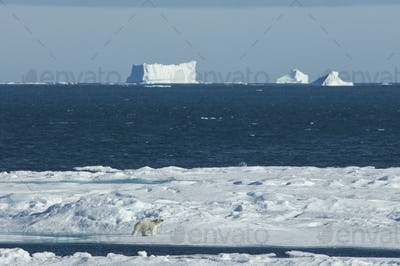 A polar bear walking across the ice, with large icebergs floating offshore.