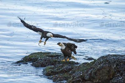 Two bald eagles, Haliaeetus leucocephalus, one clutching a fish