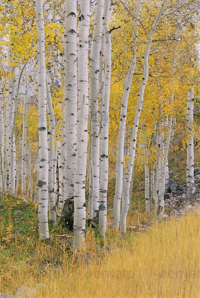 Aspen trees in autumn with white bark and yellow leaves, Yellow grasses of the understorey