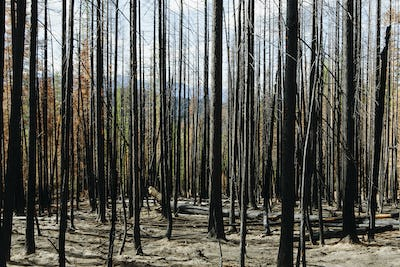 Fire damaged trees and forest on a mountainside