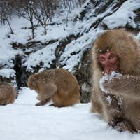 Japanese Macaques in the cold and snowo on Honshu island.