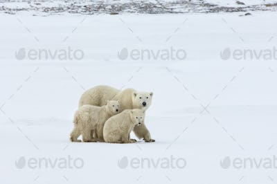 A polar bear group, an adult and two cubs in the wild.