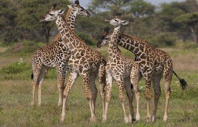 A small group of masai giraffe, Serengeti National Park, Tanzania