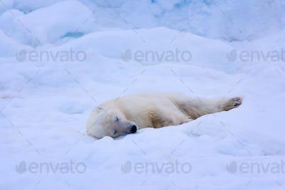 A polar bear sleeps on a bed of snow, Svalbard, Norway, Ursus maritimus,