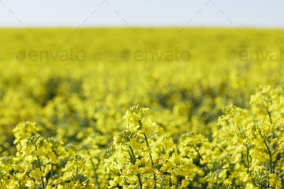 A field of yellow flowering blooming mustard seed plants