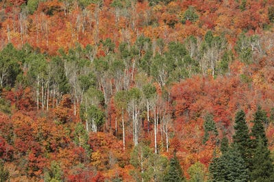 Maple and aspen trees in full autumn foliage in woodland.
