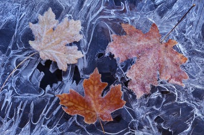 A maple leaf in autumn colours on ice.