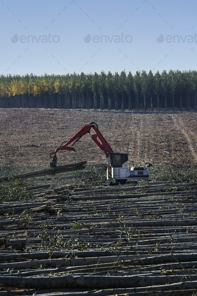 A mechanised grabber sorting felled poplar trees for timber, on a plantation.