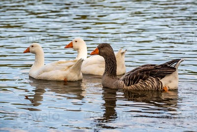 Three Gooses swiming on river, looking for somesing to eat