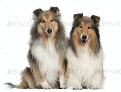 Border Collies, 6 and 7 years old, sitting in front of white background
