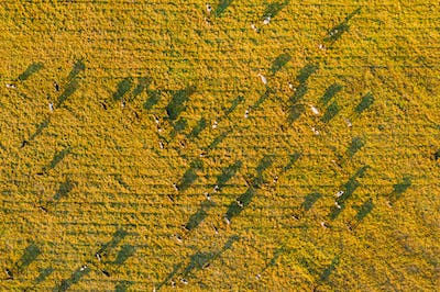 Aerial View Of Cattle Of Cows Grazing In Meadows Pasture. Summer Green Pasture Landscape. Top View
