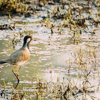 Goa, India. Red-wattled Lapwing Walking On Pond In Warm Summer Weather