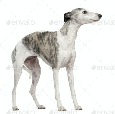 Whippet, 12 months old, standing in front of white background