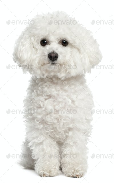 Bichon frise, 5 years old, sitting in front of white background