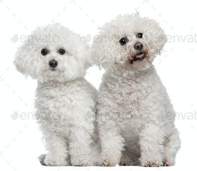 Bichon frise, 9 and 5 years old, sitting in front of white background