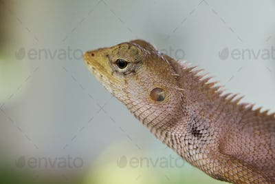 Close-up view of the brown lizard