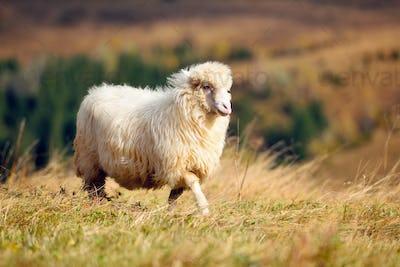 A white sheep on a mountain pasture. Sunny autumn day