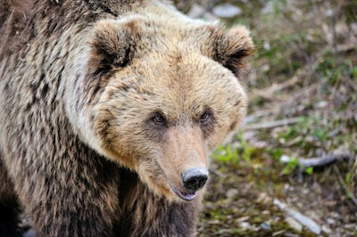 Portrait of brown bear. European brown bear in natural habitat.